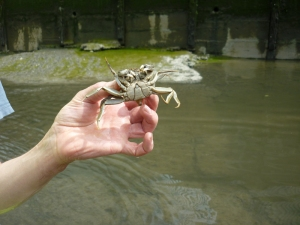 Deptford Creek Crab