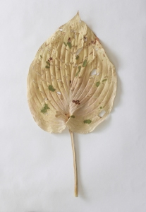 Lizzie Cannon Mended Leaf (Hosta)