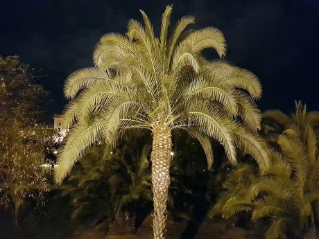 1805 Valencia palm